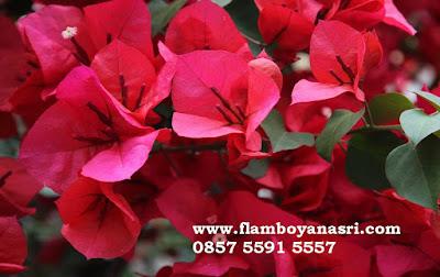 Jasa Tukang Taman Surabaya Tanaman Hias Bunga kertas