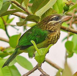 Psilopogon viridis