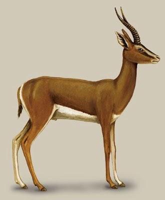 Gazelle gazelle