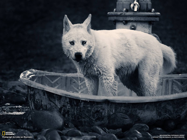 National Geographic Wallpapers Photography White Dog