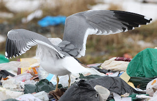 Yellow-legged Gull,spread wings