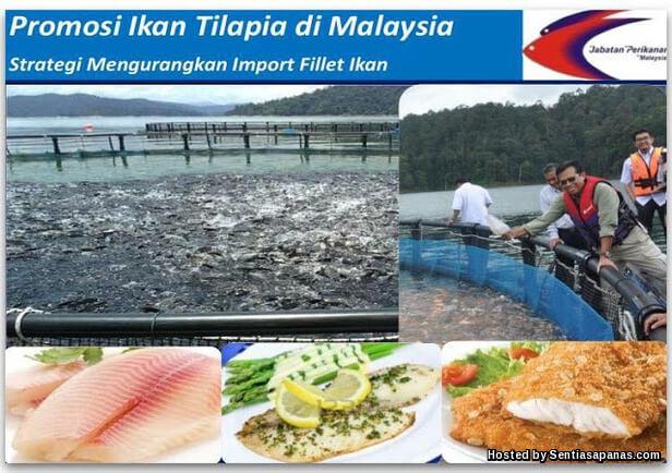 Ikan Tilapia
