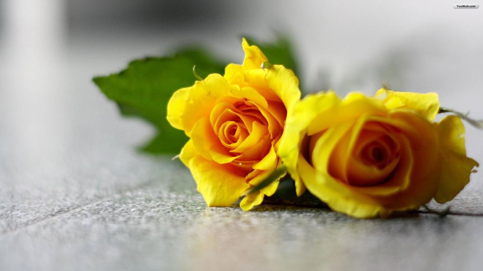 45 hình nền hoa hồng vàng đẹp mê ly nhìn mê ngay