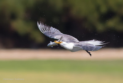 Swift Tern in Flight  - Woodbridge Island, Cape Town