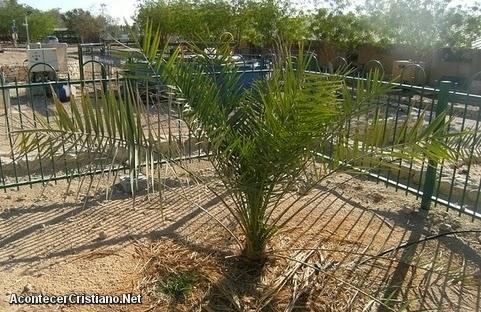 Árbol Phoenix dactylifera brota en Israel