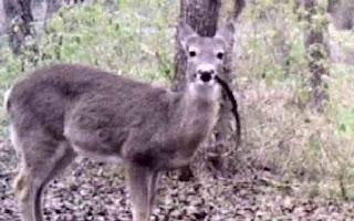 Deer eats meat