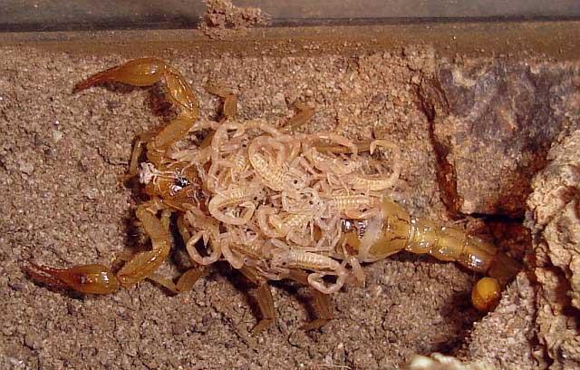 Kalajengking ordo Scorpiones