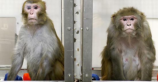 Cientistas inserem gene do cérebro humano em macacos em pesquisa polêmica - Capa