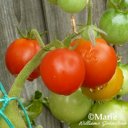 Red, orange and green tomatoes on the vine