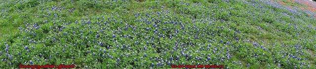 Ocean Of Bluebonnets Texas