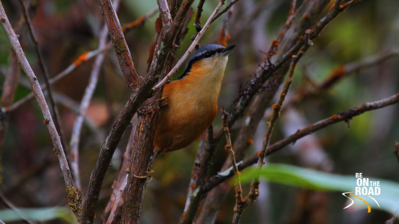 White Tailed Nuthatch at Eaglenest Wildlife Sanctuary, Arunachal Pradesh, India