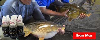 Essen Katilayu Ikan Mas Indukan