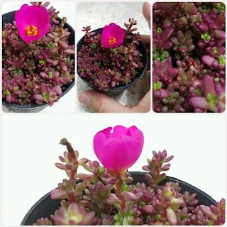 ดอกของต้นแพรทับทิม