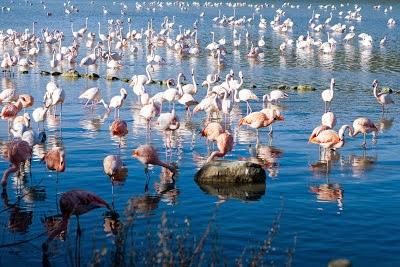 colonie de flamants roses au zoo de Sigean dans l'Aude