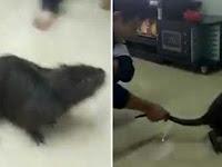 Viral Di Media Sosial, Ukuran Tikus Ini Gede Banget, Diduga Terbesar di dunia