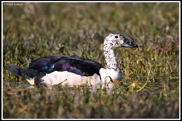 Comb Duck at Bharatpur