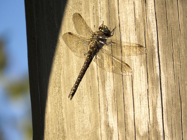 Huge dragonfly in Hamina Finland on a summer road trip
