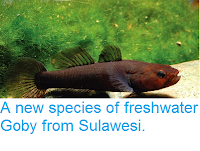 http://sciencythoughts.blogspot.co.uk/2014/11/a-new-species-of-freshwater-goby-from.html