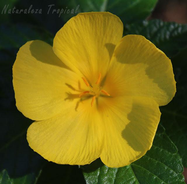 Flor característica de la planta Marilope, Turnera ulmifolia