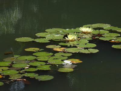 山田池公園 スイレン池