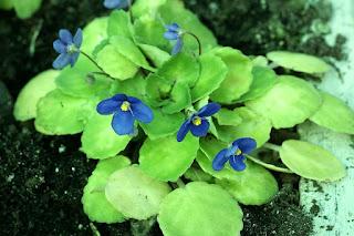 Saintpaulia ionantha ssp. grotei - Saintpaulia confusa