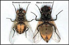 comparacion entre mosca comun y la mosca que transmite el tripanosomas en bovinos vista ventral
