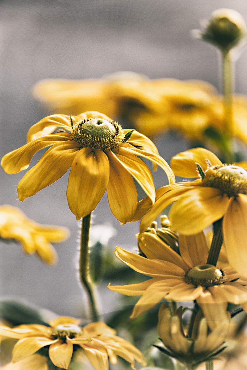 Espoo, Visualaddict, valokuvaaja, Frida Steiner, kukka, kukat, keltainen, kesä