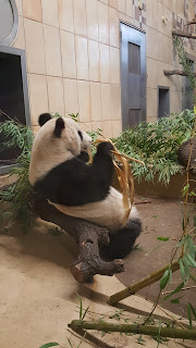 Giant Panda eating bamboo at the Zoo In Vienna