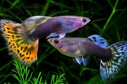 Ciri Ciri Ikan Guppy Sakit dan Cara Mengobatinya