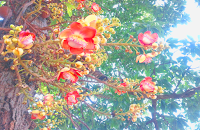 Cannonball tree naga pushpa or nagalingam flower and fruits