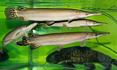 Ikan Aligator - Cara Budidaya Ikan Aligator
