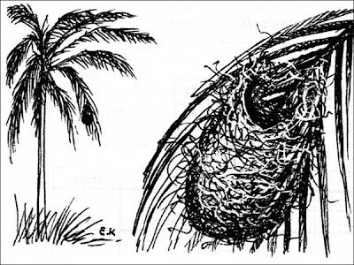 Boyerito Icterus pyrrhopterus