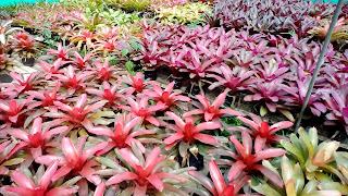 Jual Pohon Bromelia,Jual Tanaman Hias Bromelia,Harga Tanaman Hias Bromelia,Jasa Tukang Taman Bogor