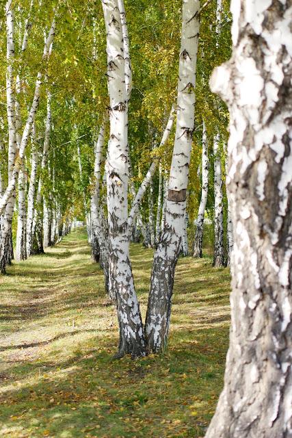 Сибирь, Омск, березы, осень