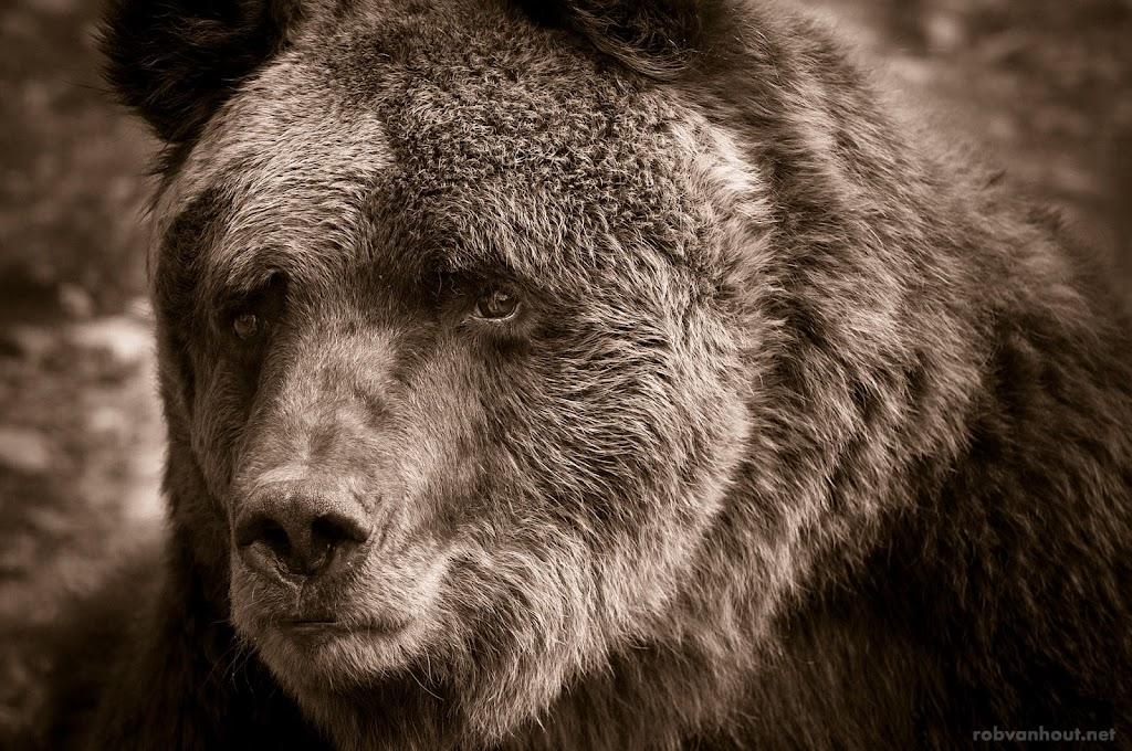 <b>Brown Bear</b> Alternativer Wolf- und Bärenpark Schwarzwald