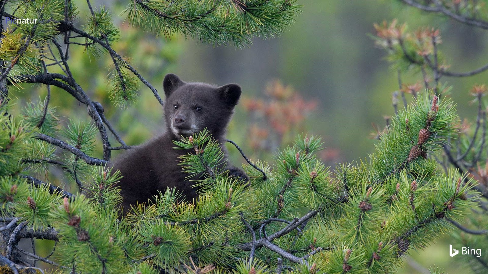Black bear cub in a pine tree, Jasper National Park, Alberta, Canada © Donald M. Jones/Minden Pictures