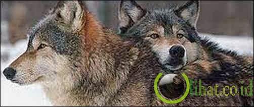 Sepasang Serigala