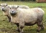 Domba southdown sangat cocok di ternak untuk menghasilkan daging dan wol