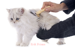 Ciri-ciri dan Cara Merawat Kucing Persia Medium