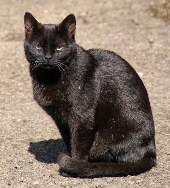 Gambar Kucing Indonesia godean.web.id