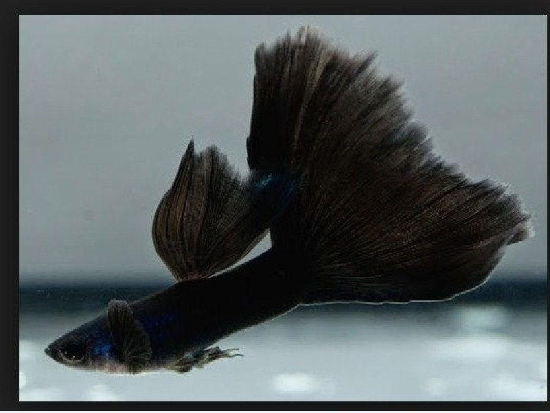 Harga Ikan Guppy Per Ekoe