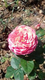 hoa hồng tam đảo