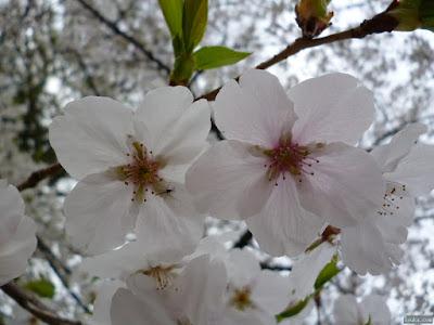 桜とユスリカ