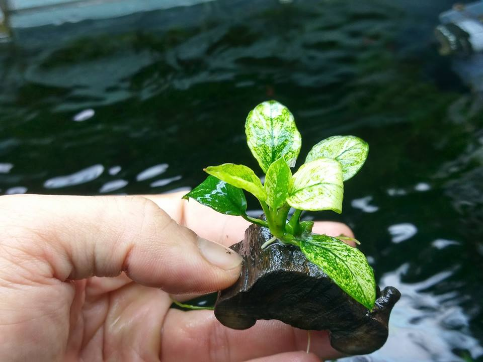 cây thủy sinh ráy Pinto của bạn Long Nguyễn