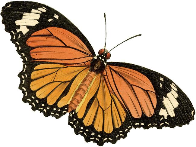 The Vintage Moth..: Vintage Clip Art- Butterfly