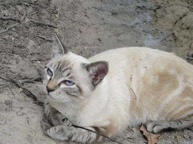Gatinho de olhos azuis na  Amazonia