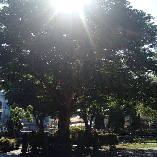 Manuel L. Quezon's tindalo tree at the Bacolod City Plaza