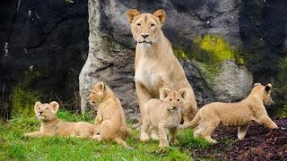 Come distinguere il leone da un gatto selvatico