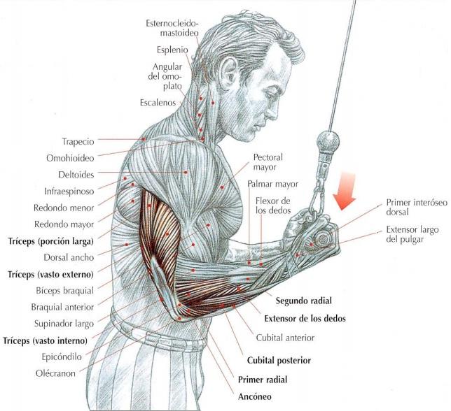 Extensión de tríceps en polea alta con agarre invertido