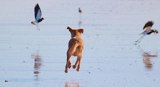 Cara Melatih Anjing Berburu